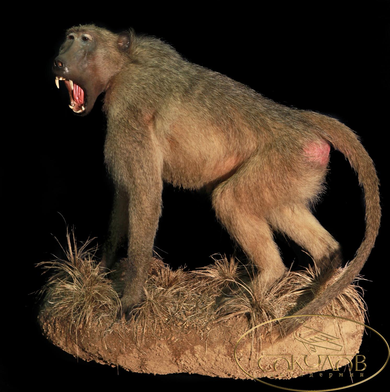 Картинки крыса и обезьяна